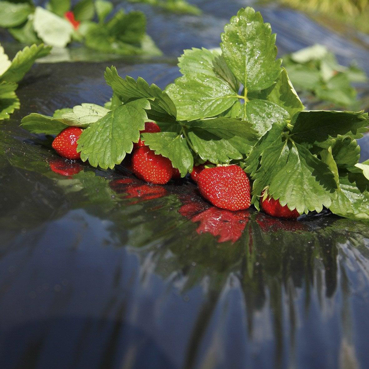 film de paillage pour fraises geolia 40 g m 1 4 x 10 m. Black Bedroom Furniture Sets. Home Design Ideas