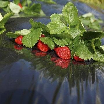 Film de paillage pour fraises GEOLIA, 40 g/m², 1.4 x 10 m