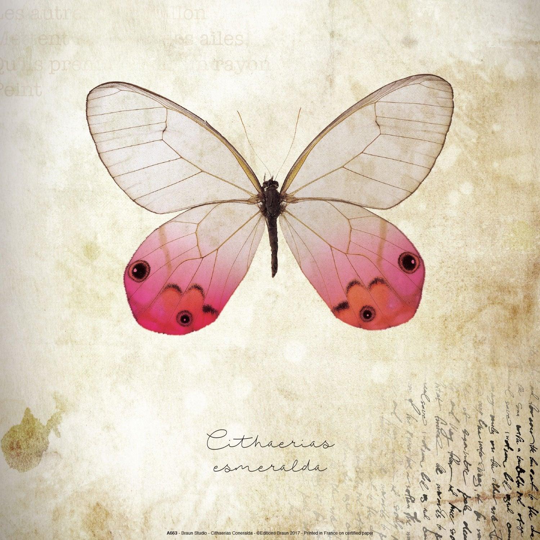 Affiche Cithaerias coneralda l.31 x H.31 cm